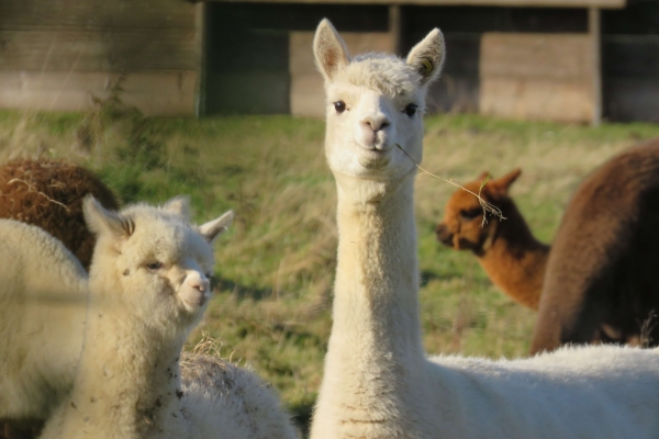 The History Of Alpacas In North America And Across The World